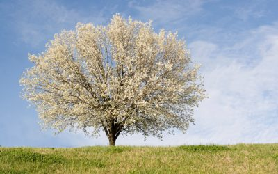 3 Reasons to Avoid Bradford Pear Trees